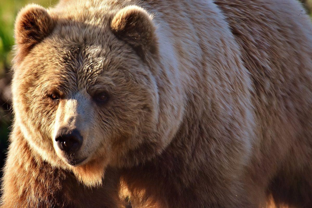 european-brown-bear-2193732_1280-1200x800.jpg